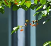 【鸟趣】樱桃树上的小精灵