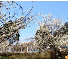 蒲江樱花节要来了,再过一周就可以去看啦。