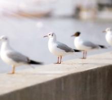 滇池暮色赏海鸥