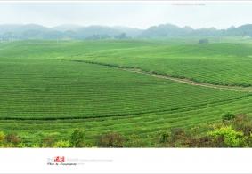 【系列组照】2018贵州:湄潭之中国大茶海浏览(上)