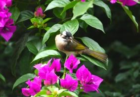 【鸟趣】白头鹎鸟爱花草