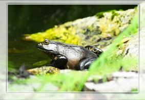 【生态摄影】野生牛蛙
