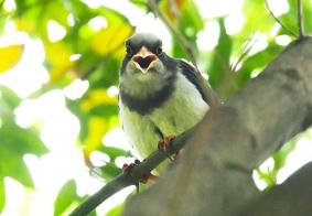 【鸟趣】残暴的红嘴蓝鹊鸟
