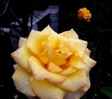 【【  雨 中 的 玫 瑰  】】………手机拍摄………