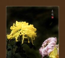 菊颂--学拍菊花