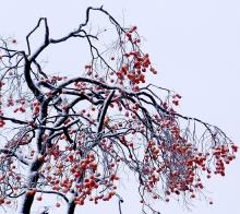 红柿白雪压枝头