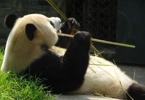 大熊猫的早餐