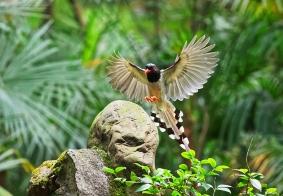 杜甫草堂里的红嘴蓝鹊