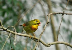 #鸟趣# 羽毛鲜艳的红嘴相思鸟