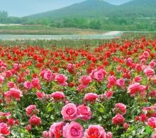 推荐一个绵阳市附近赏花的绝佳去处三台县凯江玫瑰园五一七彩玫瑰震撼开放!