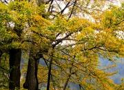 2012年11月5日游了 成都周围最古老,最原始,最美丽的银杏----大邑白岩寺千年银杏林