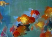 【萌物】小金鱼真美丽