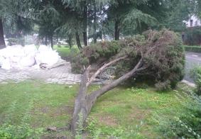暴雨致使四川大学多颗树木倒伏