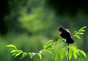 扛肩章的鸟。
