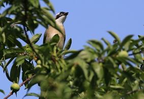 爱吃水果的小鸟