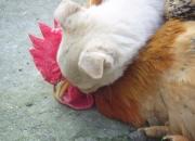 【萌物】鸡与狗的和谐社会......老熊猫搞笑摄影