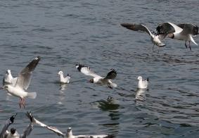 【彩云之南】在洱海觅食的海鸥