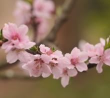 花重锦官城之桃花朵朵开~~
