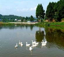 【【 白 鹅 浮 绿 水 】】………双桥镇黄楝沟………