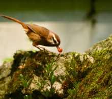【鸟趣】贪吃红樱桃画眉鸟