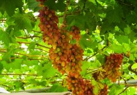 葡萄熟了 阿拉尔汗心儿醉了