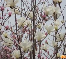 川西坝子—春暖花开