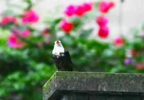 #鸟趣#夜色中的黑短脚鵯
