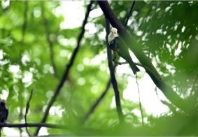 【鸟趣】带飞的黒短脚鹎鸟