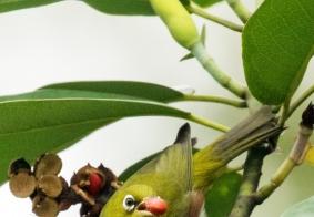 《路过成都的迁徙鸟》之一浣花溪公园含笑树上吃红果的红胁绣眼鸟
