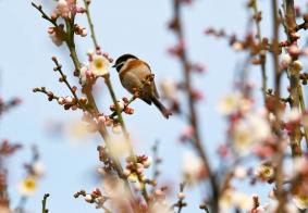 长尾山雀闹春