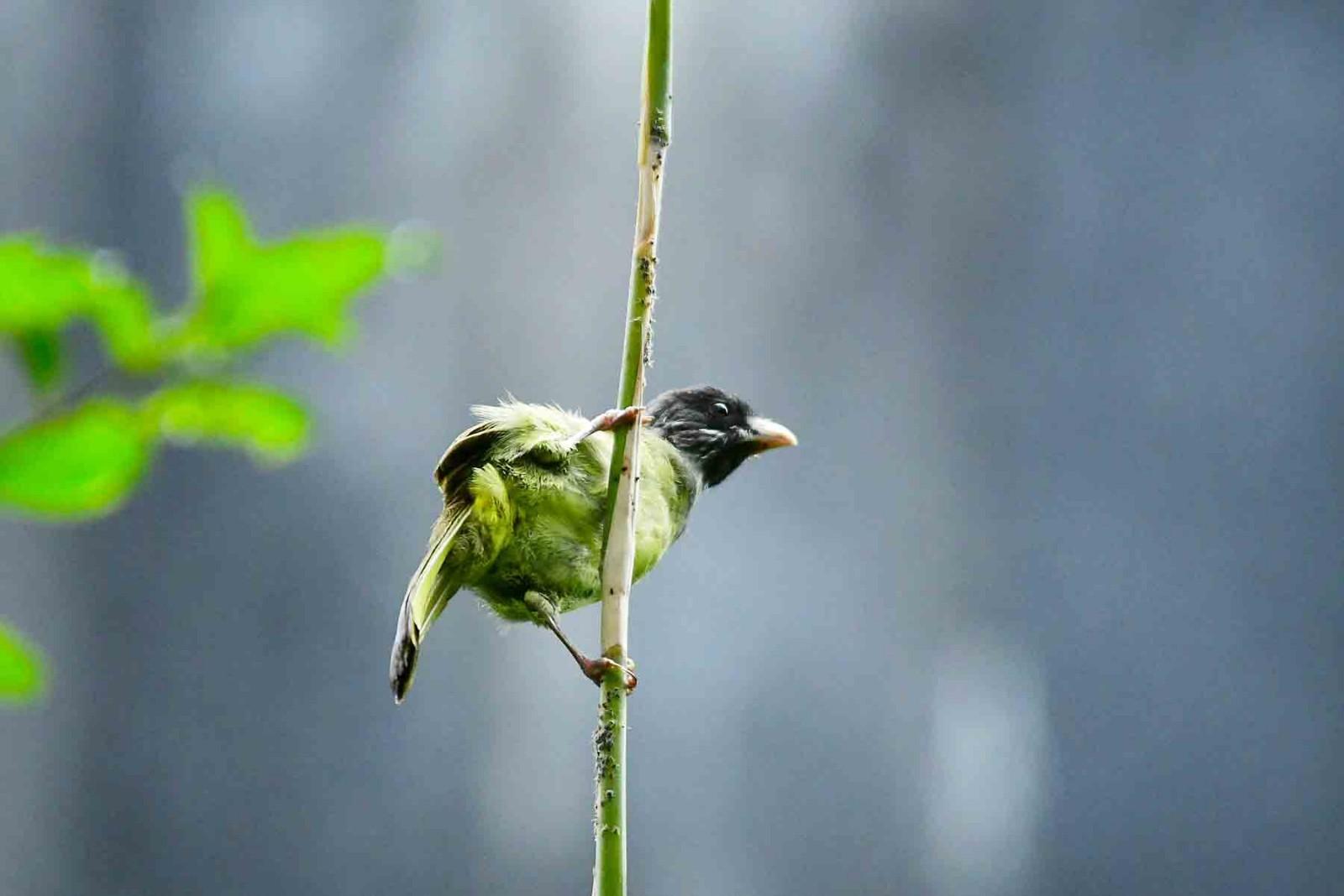 【鸟趣】杂耍的小鸟